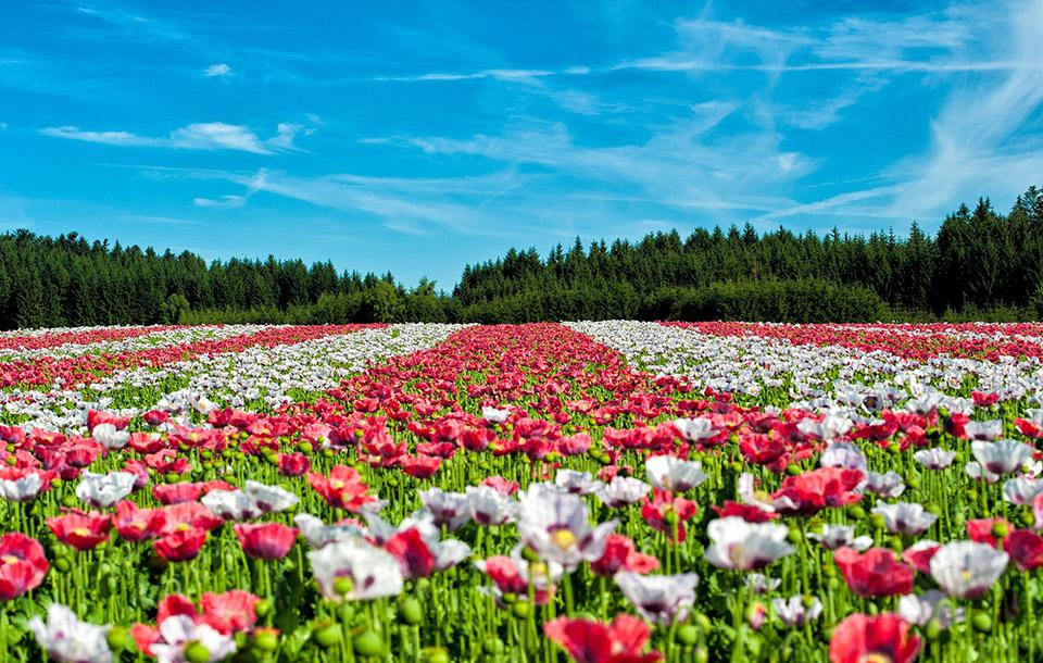 La Hollande en Fleurs à partir de 645 € TTC