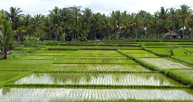 Plantations de riz, Ubud - copyright ladywewa / Shutterstock